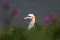 Gannet In The Long Grass