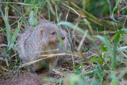 Shy Mongoose