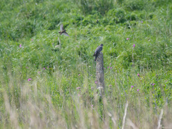 Cuckoo Ignoring Meadow Pipit Attack
