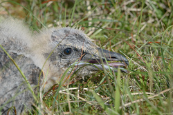 Great Skua Chick In The Grass