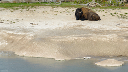 Bison At Rest