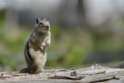Yellowstone Chipmunk