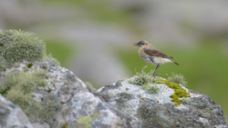 Wheatear In Song