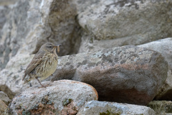 Meadow Pipit With A Meal