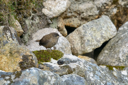 Wren On A Mossy Rock